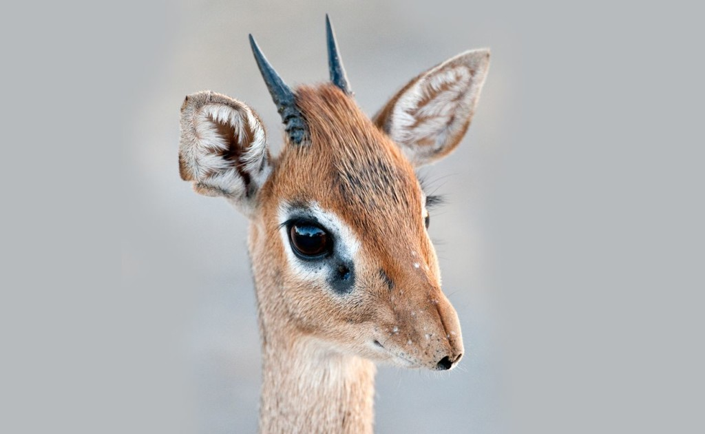 Dik Dik wallpapers HD