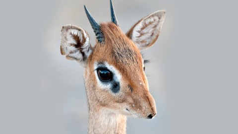 Dik Dik wallpapers high quality