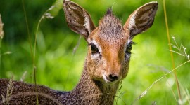 Dik Dik High Quality Wallpaper