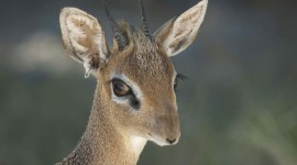 Dik Dik Wallpaper 1080p
