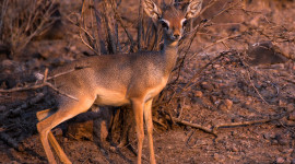 Dik Dik Wallpaper Background