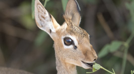 Dik Dik Wallpaper Download