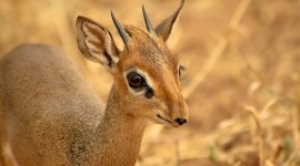 Dik Dik Wallpaper For Desktop