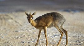 Dik Dik Wallpaper For PC
