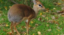 Dik Dik Wallpaper Full HD