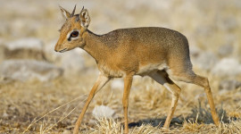 Dik Dik Wallpaper High Definition