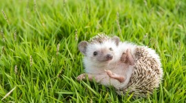 Funny Hedgehogs Photo