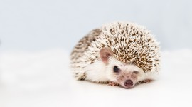 Funny Hedgehogs Photo Download