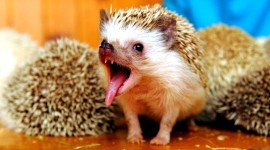 Funny Hedgehogs Wallpaper