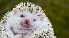 Funny Hedgehogs Wallpaper For Desktop