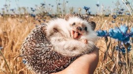 Funny Hedgehogs Wallpaper For Mobile#2