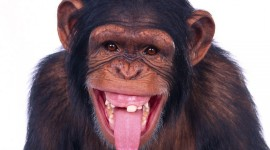 Funny Monkeys Desktop Wallpaper For PC