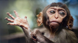 Funny Monkeys Wallpaper Free