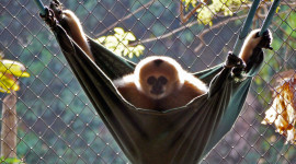 Gibbon Rehabilitation Center High Quality Wallpaper