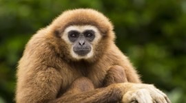Gibbon Rehabilitation Center Wallpaper Background