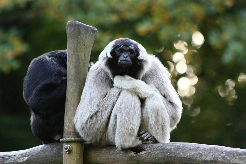 Gibbon Rehabilitation Center wallpapers HD