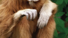 Gibbon Rehabilitation Center Wallpaper For IPhone