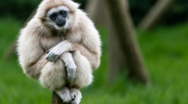 Gibbon Rehabilitation Center Wallpaper For PC