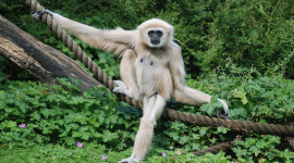 Gibbon Rehabilitation Center Wallpaper Free