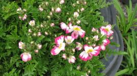Schizanthus Photo Download