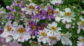 Schizanthus Photo Free