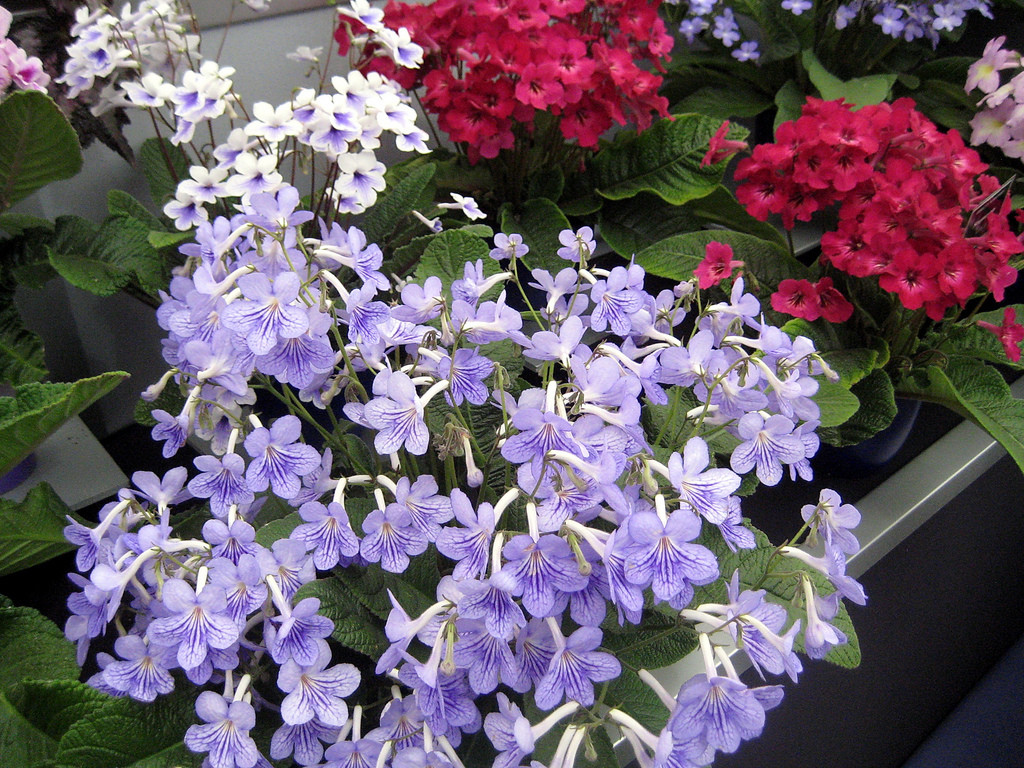 Streptocarpus wallpapers HD