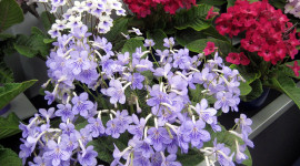 Streptocarpus Best Wallpaper