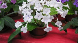 Streptocarpus Photo Download