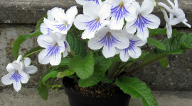 Streptocarpus Photo Free