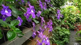 Streptocarpus Wallpaper Download Free