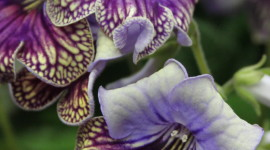 Streptocarpus Wallpaper For Android