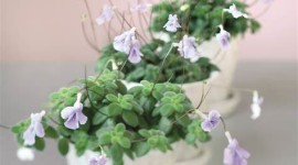 Streptocarpus Wallpaper For IPhone Free
