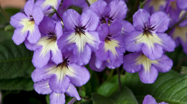 Streptocarpus Wallpaper Gallery