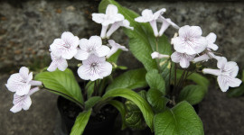 Streptocarpus Wallpaper HQ