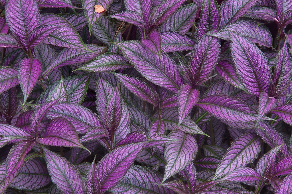 Strobilanthes wallpapers HD
