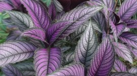 Strobilanthes Wallpaper For Android
