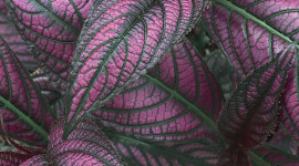 Strobilanthes Wallpaper For IPhone