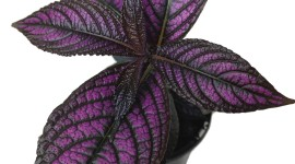 Strobilanthes Wallpaper For IPhone Download