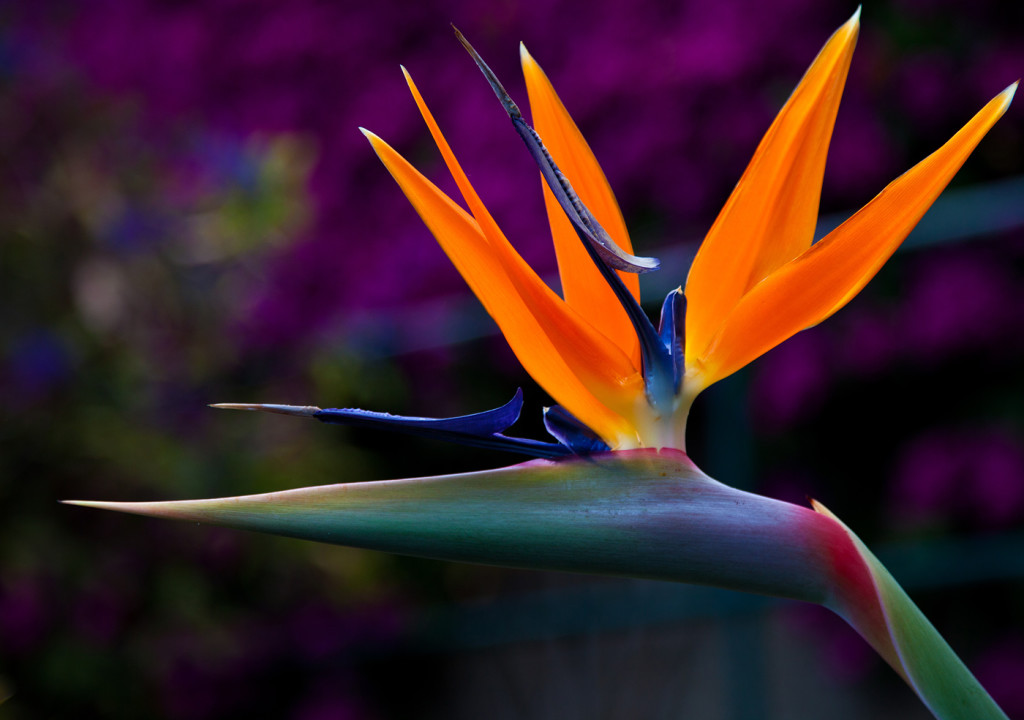 The Strelitzia wallpapers HD