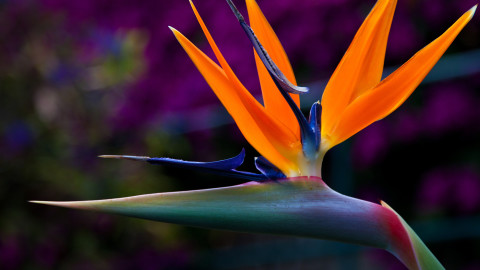 The Strelitzia wallpapers high quality