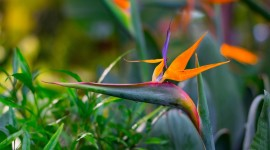 The Strelitzia Desktop Wallpaper For PC