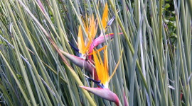 The Strelitzia Photo