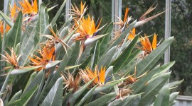 The Strelitzia Photo Free#2