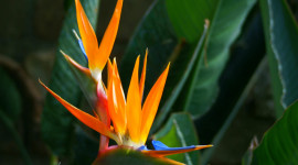 The Strelitzia Wallpaper Download