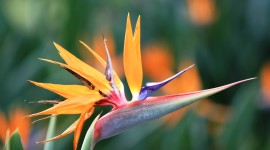 The Strelitzia Wallpaper For Desktop