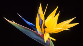 The Strelitzia Wallpaper Free