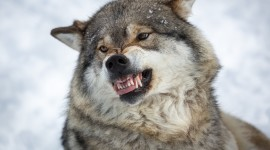 Angry Animal Desktop Wallpaper Free