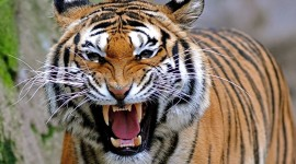 Angry Animal Wallpaper Download Free