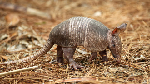 Armadillos wallpapers high quality