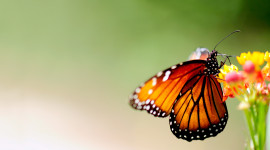 Butterfly Macro Wallpaper For PC